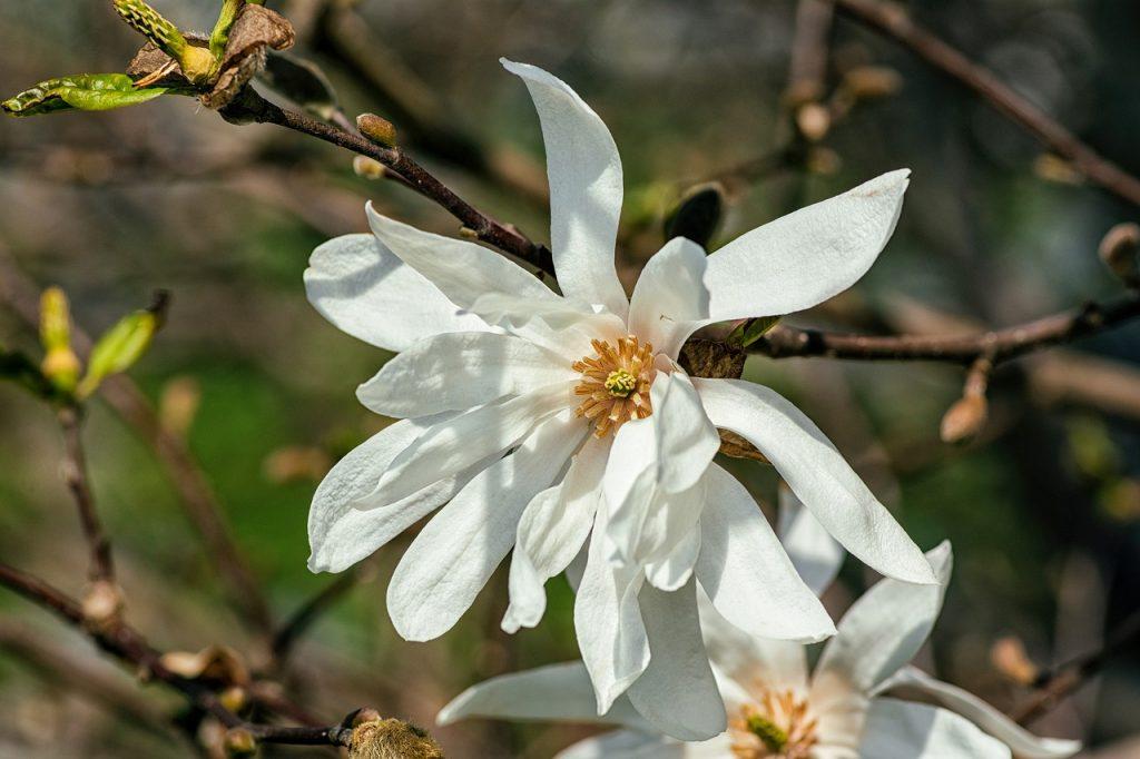 Kwiat magnolii gwiaździstej