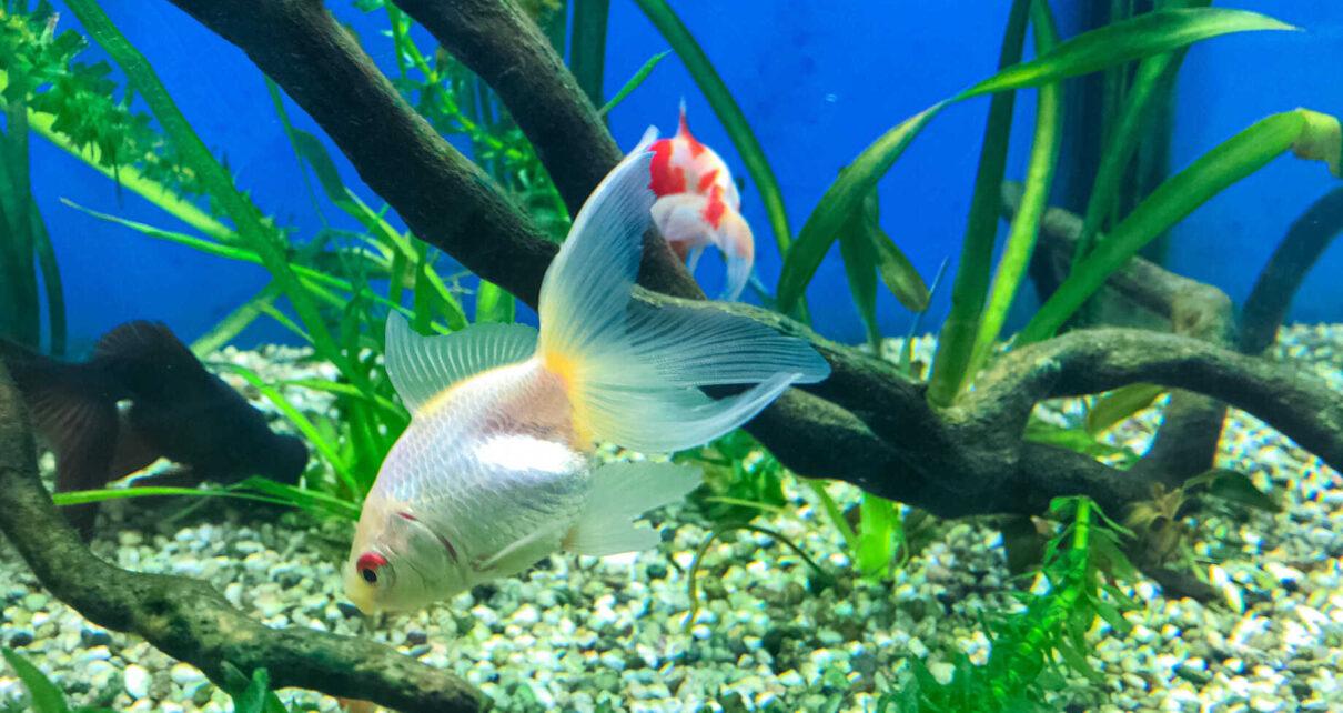 Ryba w akwarium.