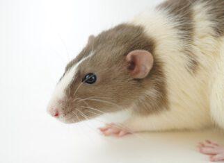 Deratyzacja szczurów.